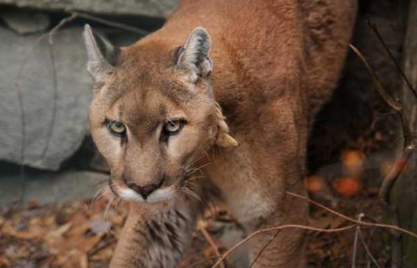 Eastern-cougar-8