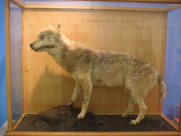Honshu-wolf-6