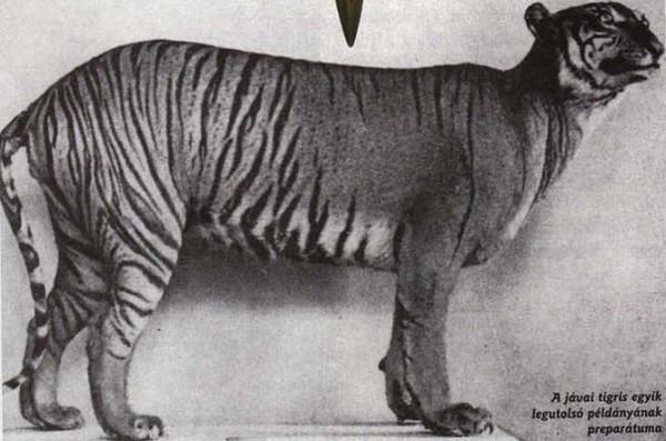 Javan Tiger 3