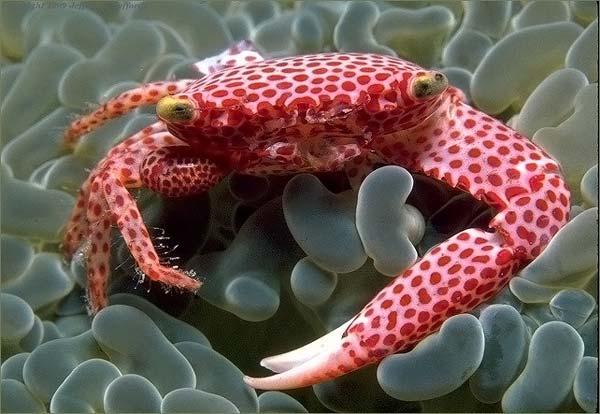 Trapezia-Rufopunctata-Beautiful-Crab-3