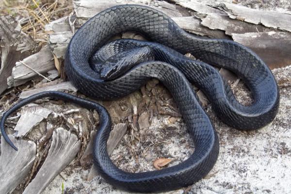 Indigo Easter Rat Snake
