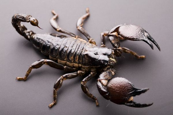 The African Emperor Scorpion
