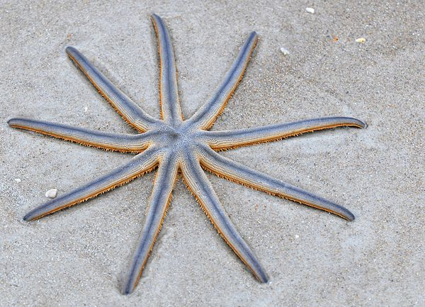 Nine armed Sea Star