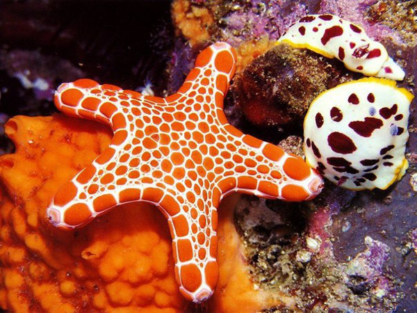 Vermilion Biscuit Sea Star