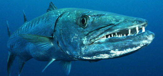 Great Barracuda