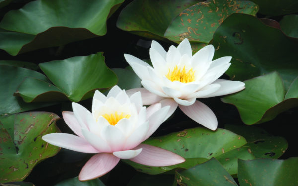 10 most beautiful flowers around the world listamaze white lotus is most commonly seen flower in lakes and ponds which enter the list of 10 most attractive flowers in the world it is also considered to be mightylinksfo