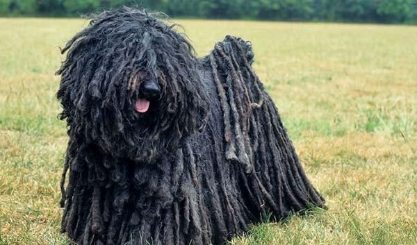 Puli - Weirdest Dog Breeds