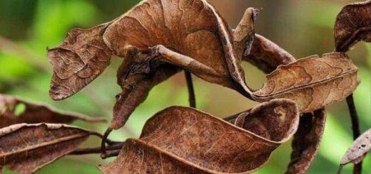 Satanic Leaf Gecko