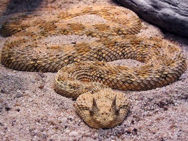horned desert viper