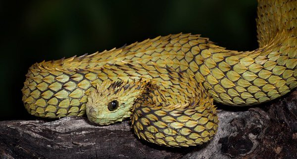 spiny bush viper