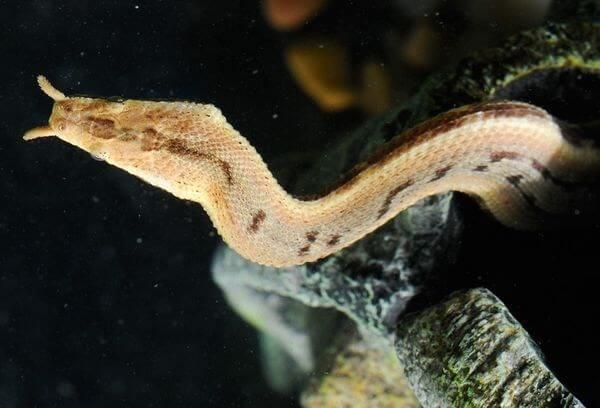 tentacle snake