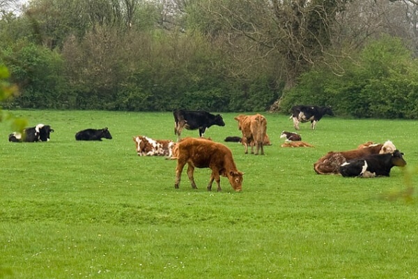 Cows Graze In The North and South Direction