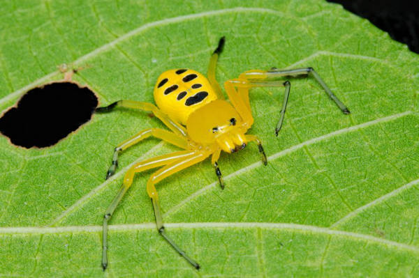 Spiders Eight Spotted Crab-Spider