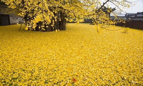 1400 Year Old Chinese Ginkgo tree