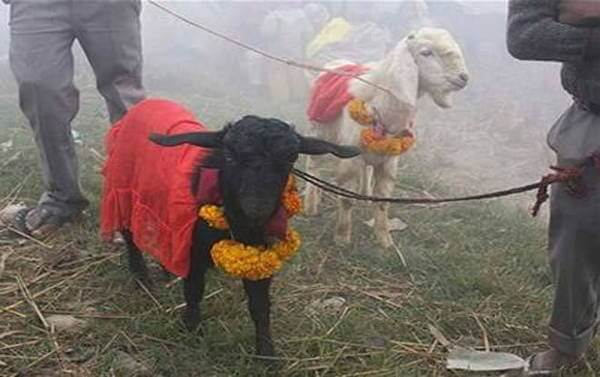 Animal Sacrifice