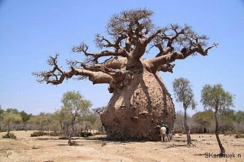 Baobab Tree Can Store 32000 Gallons of Water