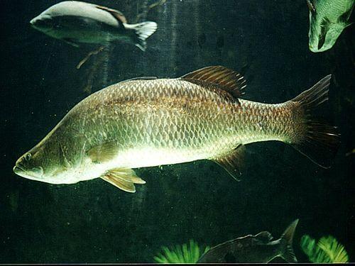 Burramundi fish Can Change Gender