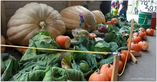Gigantic Vegetables of Alaska