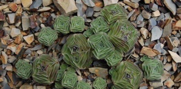 Starfish Succulent