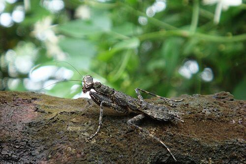 Thepraying mantis camouflaging