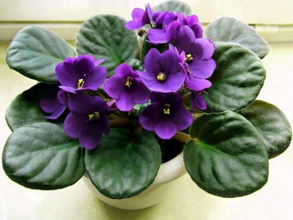 Vermont African Violet
