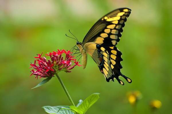 Jamaican Giant Swallowtail