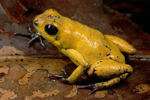 Black Legged Dart Frog