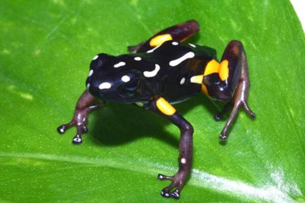 Brazil Nut Poison Frog