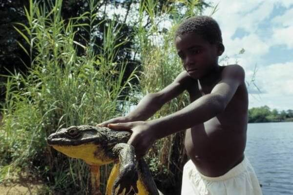 Goliath Frog