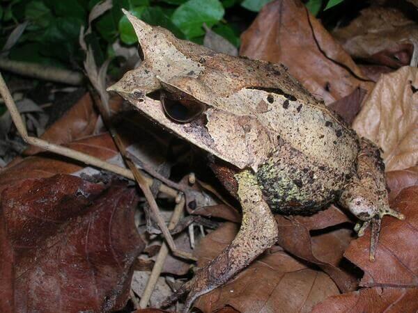 Long nosed Horned Frog