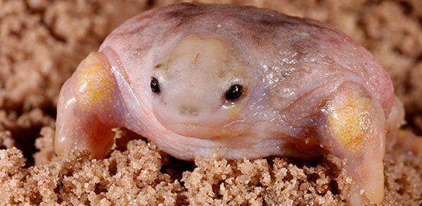Turtle Frog