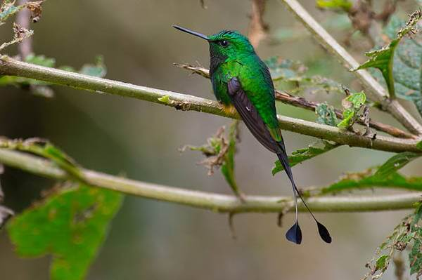 Booted Racket tail Humming Bird