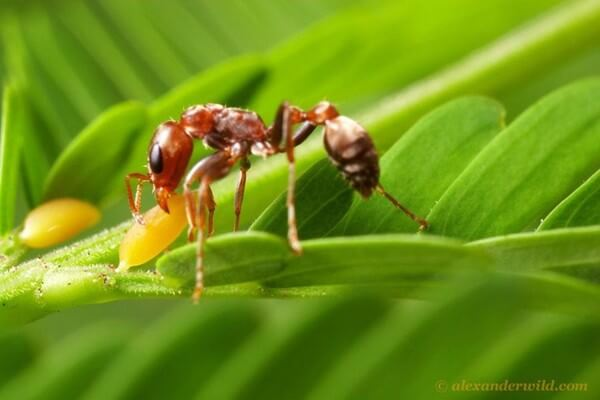 Bullhorn Acacia Ant