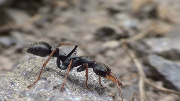 Jack Jumper Ant