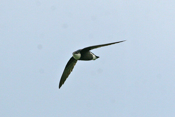 White throated Needletail Swift