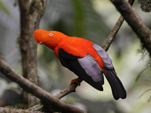 Andean Cock of the Rock