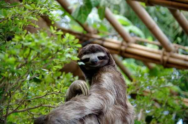 Three Toed-Sloth